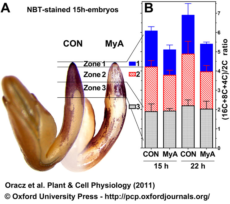 MyA inhibits endodupliation